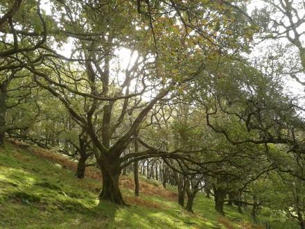 Autumn golden beauty oak