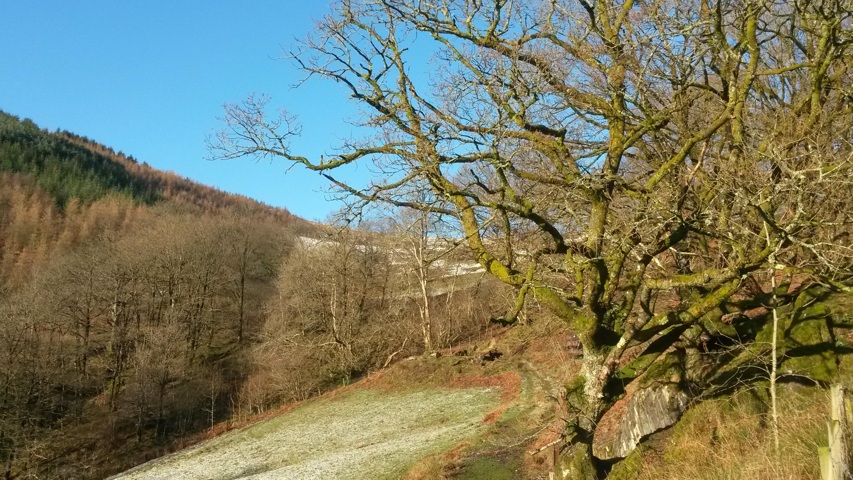 Tipi oak in winter